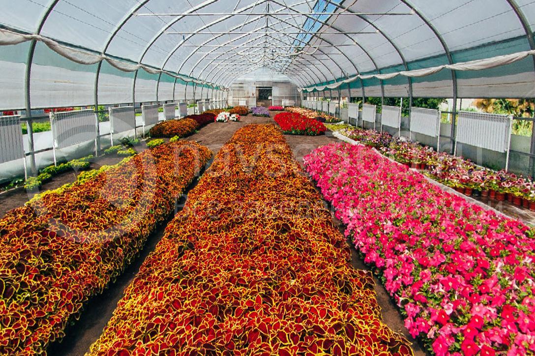 совхоз цветочный, рассада оптом краснодар 16