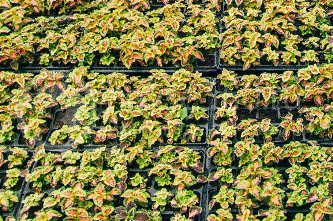совхоз цветочный, рассада оптом краснодар 22