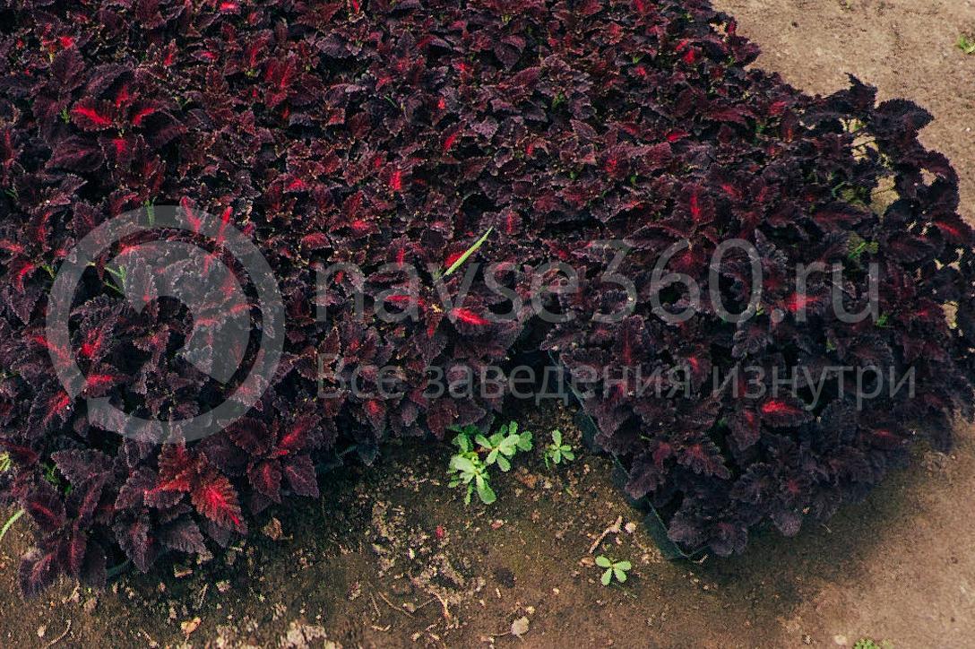 совхоз цветочный, рассада оптом краснодар 25