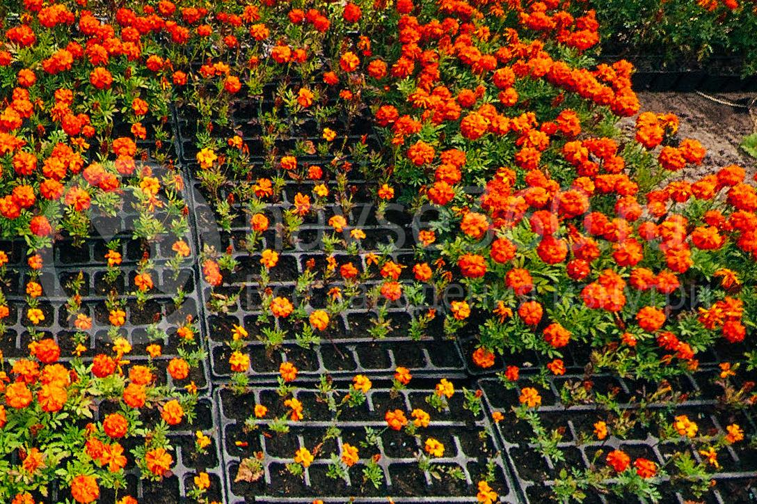 совхоз цветочный, рассада оптом краснодар 32