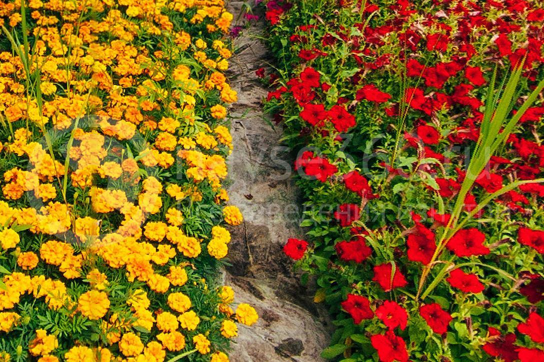 совхоз цветочный, рассада оптом краснодар 34
