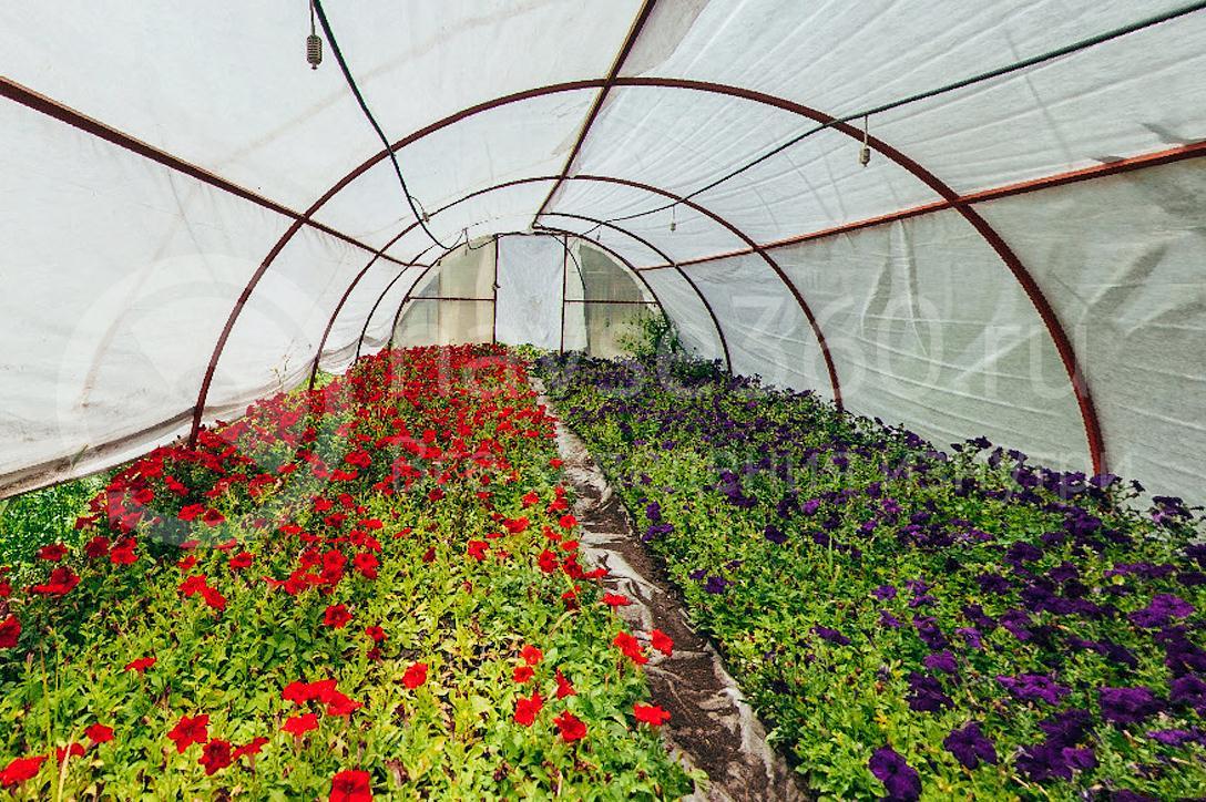 совхоз цветочный, рассада оптом краснодар 38