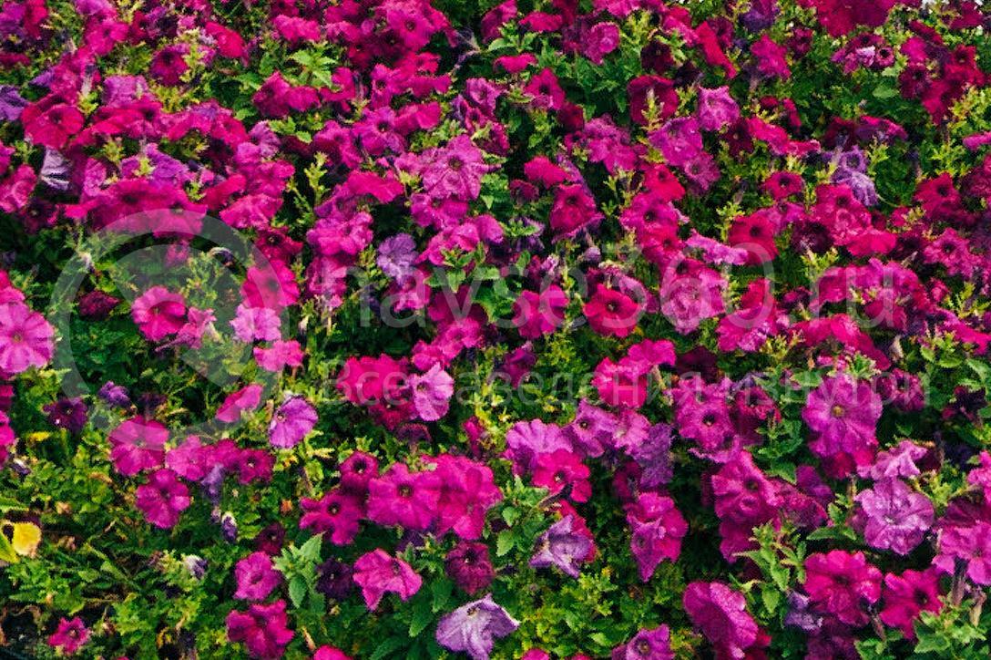 совхоз цветочный, рассада оптом краснодар 41